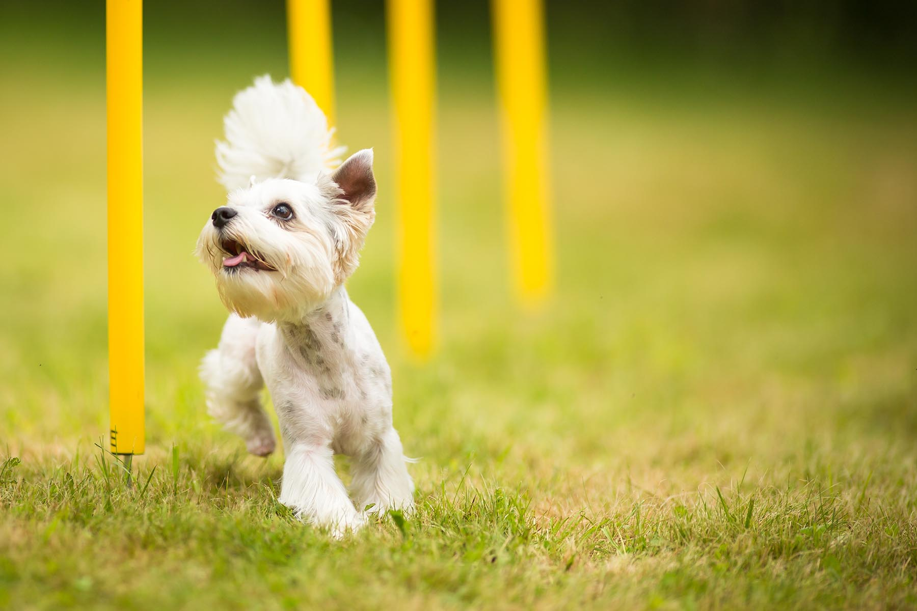 Cute Little Dog Doing Agility Drill   Running Slalom, Being Obed